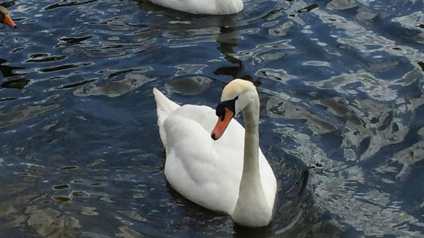 Swan on the Serpentine lake