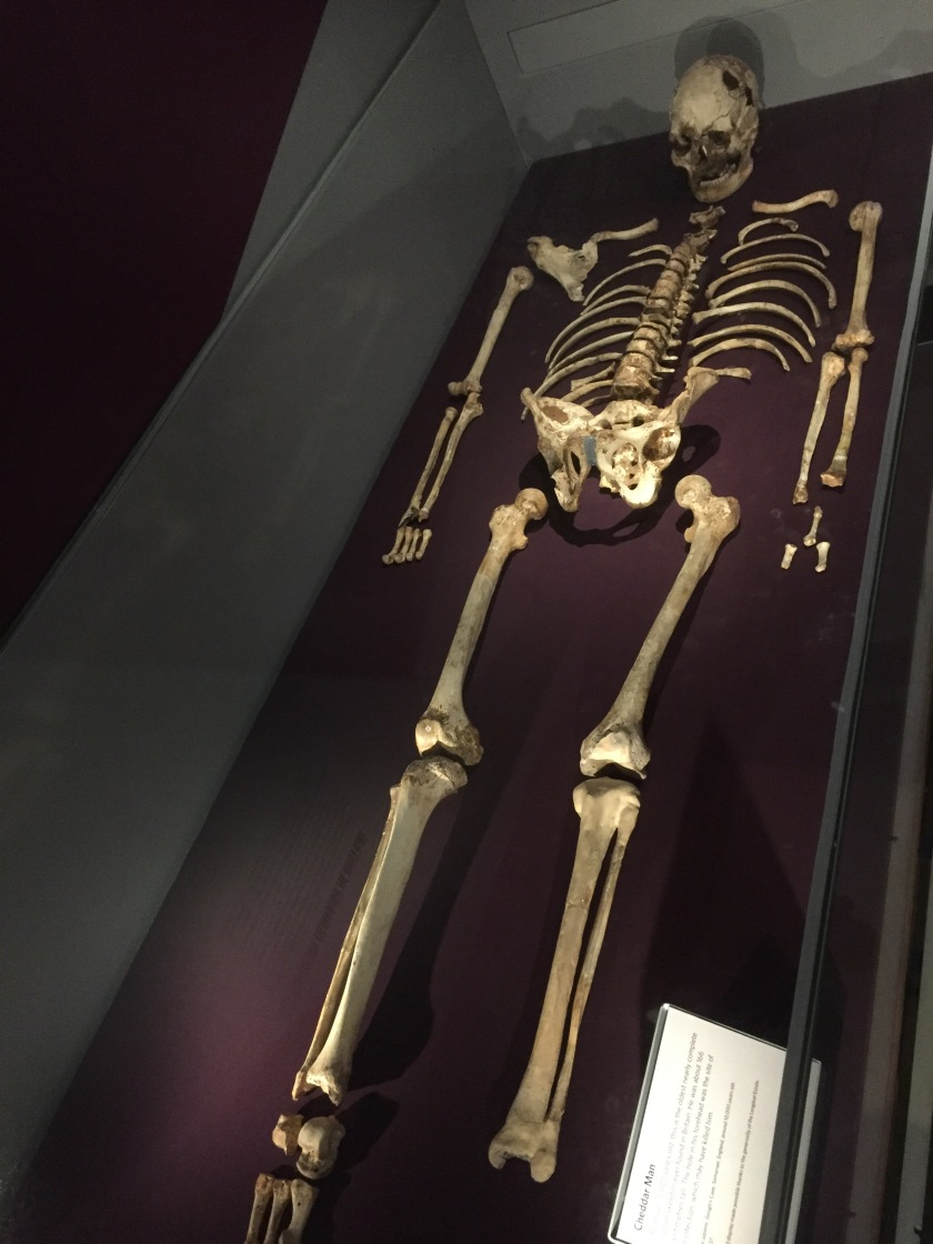 A skeleton laid out in a glass case at the Natural History Museum.