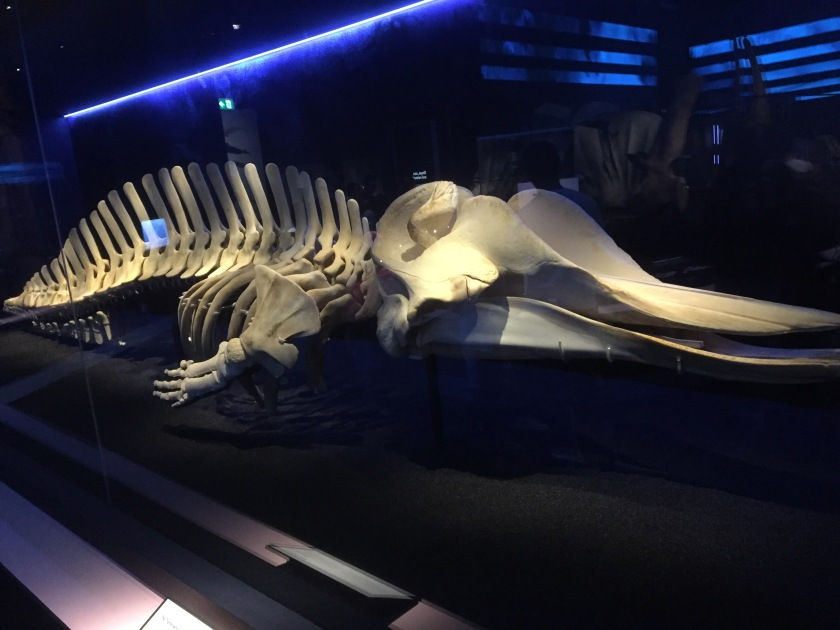 A large skeleton of a whale that was found in the River Thames.