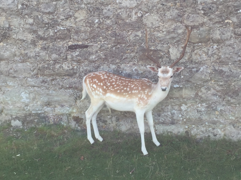 A deer standing on grass in front of a stone wall, turning its head towards the camera.