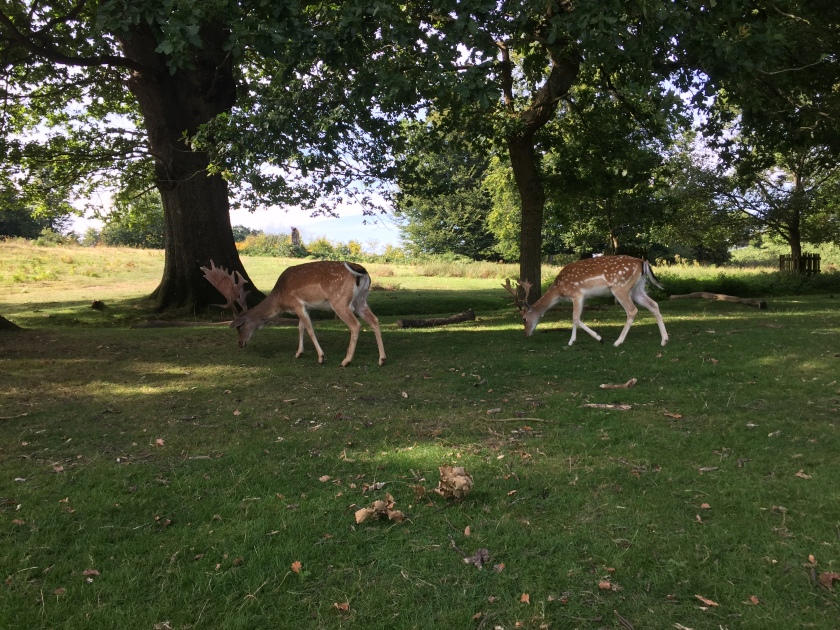 2 male deers with antlers, walking along the grass in the shade under large trees.