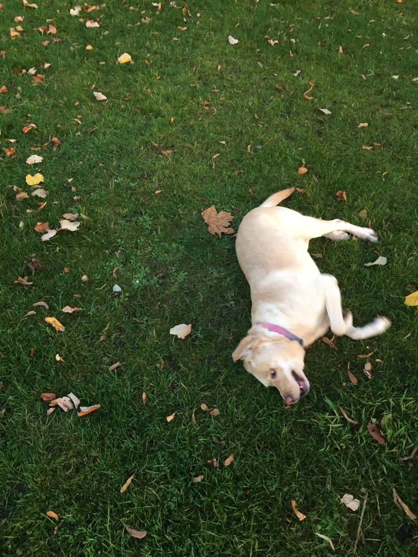 Golden labrador Unity looking happy as she rolls around on the grass on her side, with autumn leaves around her.