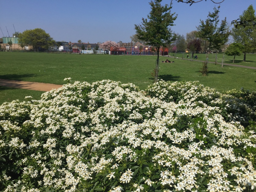 Large and dense grouping of white flowers in Brampton Park. Behind it is a large area of grass, on which a few people are relaxing, with a few small trees around the space as well.