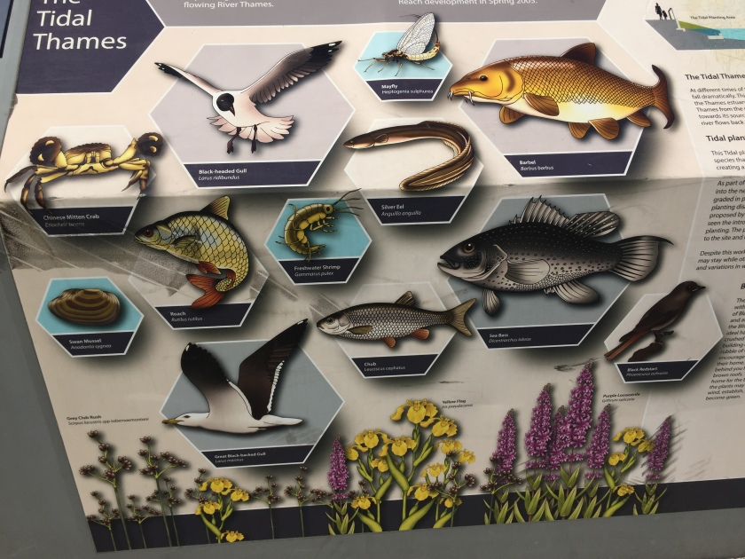 Large sign for the Tidal Thames, showing large colourful pictures of different birds, fish, other aquatic animals and plants that can be found in the Battersea Reach area of the river. Creatures include Chinese Mitten Crab, Black-Headed Gull, Silver Eel, Sea Bass, Chub, Swan Mussel, Roach, Mayfly and Black Redstart.