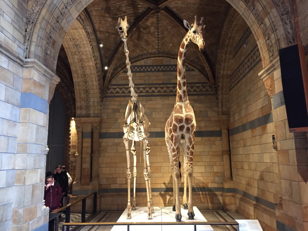 A giraffe skeleton and a model of a giraffe, both life-size, standing next to each other in the Natural History Museum.