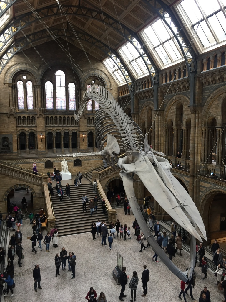 Life size blue whale skeleton, suspended high in the air above the many people below, in the huge and ornate main hall of the Natural History Museum.