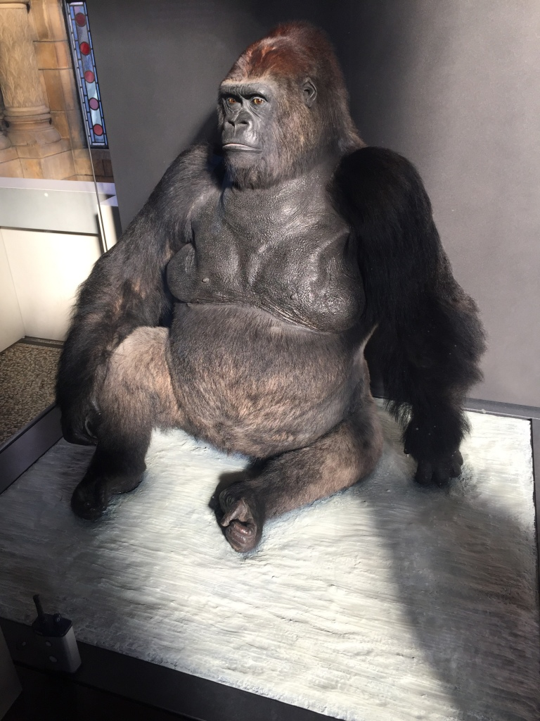 A large stuffed black gorilla, sitting on the ground in his museum display, illuminated by sunlight.