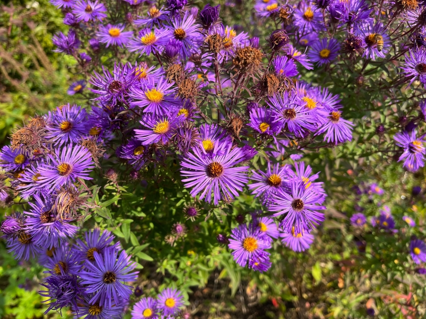 Flowers with lots of very thin purple petals and a yellow or brown centre.